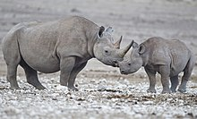 8. Black rhinoceros