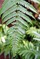 Dicksonia squarrosa Palmengarten Frankfurt.jpg