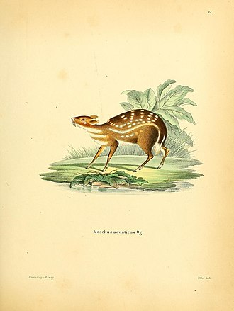 Water chevrotain - Illustration of water chevrotain.