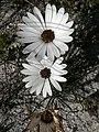 Dimorphotheca nudicaulis Hangklip 03.jpg