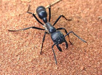 Dinoponera - Dinoponera australis, one of the world's largest ants