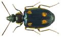 Dolichoctis rotundata Schmidt-Goebel, 1846 (8494729942).png