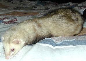 Domestic ferret.jpg