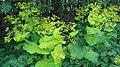 Doorwaskervel - Smyrnium perfoliatum (2).jpg