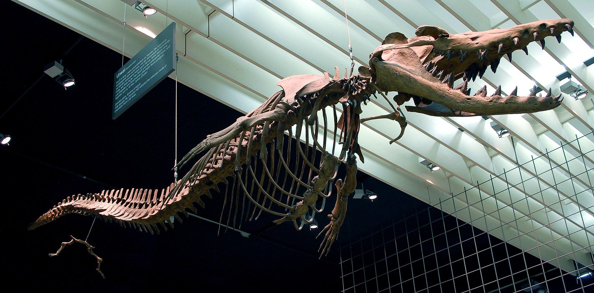 Dorudon atrox, Skelettrekonstruktion im Naturmuseum Senckenberg in Frankfurt am Main.