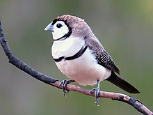 Double-barred finch 8066-2.jpg
