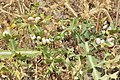 Dried snails on cardus plant in Malia Greece.jpg