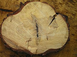 Bark pocket - A cross-section of a Scots Pine (Pinus Sylvestris L.) containing a bark pocket. The two trunks have been inosculated.