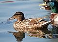 Duck 4 (3589897824).jpg