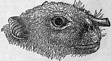 A scientific illustration of a megabat face in profile with prominent nostrils. Each nostril is a distinct tube projecting away from the face at a right angle.