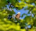 Eagle in a tree.jpg