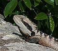 Eastern Water Dragon Clontarf.jpg