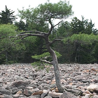 Blockfield - A photo of a single Eastern White Pine in the nearly barren Boulder Field, Hickory Run State Park, PA.
