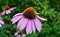 Echinacée pourpre (Echinacea purpurea).jpg