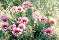 Echinocereus fasciculatus.jpg