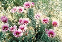 Echinocereus fasciculatus