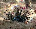 Echinothrix calamaris, jeune individu.jpg
