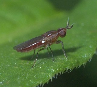<i>Ectecephala</i> genus of insects