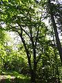 Eiche am Brüler Berg (Hoch-Weisel) 12.JPG