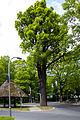 Eiche am Pilz Frohnau Berlin 22. Mai 2015.jpg