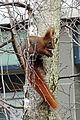 Eichhörnchen - Berlin-Fennpfuhl (Januar 2013) 1121-1001-(120).jpg