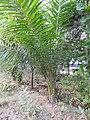 Elaeis guineensis-3-papanasam-tirunelveli-India.jpg