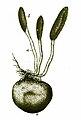 ElaphomycesGranulatusCordycepsAntonKerner.jpg