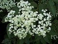 Elder Flower - geograph.org.uk - 456871.jpg