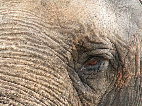 den hvite elefant