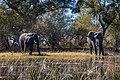 Elefantes africanos de sabana (Loxodonta africana), delta del Okavango, Botsuana, 2018-07-31, DD 04.jpg