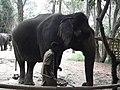 Elephant from Bannerghatta National Park 8686.JPG