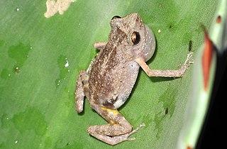 <i>Eleutherodactylus dilatus</i>