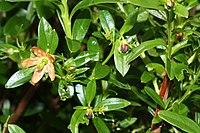 Elliottia pyroliflorus 6724