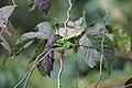 Emerald Tanager - Costa Rica (31765448382).jpg