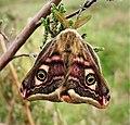 Emperor Moth. (Saturnia pavonia) male. (46769806035).jpg