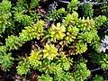 Empetrum nigrum - Iceland - 20070706.jpg