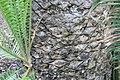 Encephalartos whitelockii 0zz.jpg