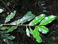 Endiandra compressa leaves.jpg