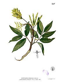 Engelhardtia spicata Blanco2.387