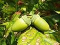 English Oak (Quercus robur), acorn (19859270890).jpg
