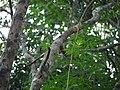 Epidendrum radicans Pav. ex Lindl. (5592028625).jpg