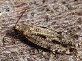 Epinotia granitana (39452226780).jpg