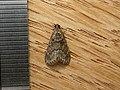 Epipaschiinae sp. (5164063372).jpg