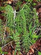 Equisetum pratense RF.jpg