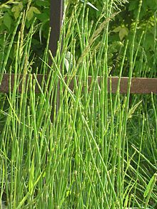 Equisetum Moorei Rough Horsetail Branched