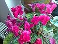 Ericales - Cyclamen persicum cultivars - 11.jpg