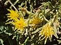 Ericameriadiscoidea.jpg
