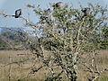 Espinillo con palomas.jpg