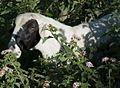 Ethiopian Goat (2145037400).jpg
