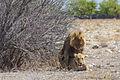 Etosha lions mating 3 (15790107156).jpg